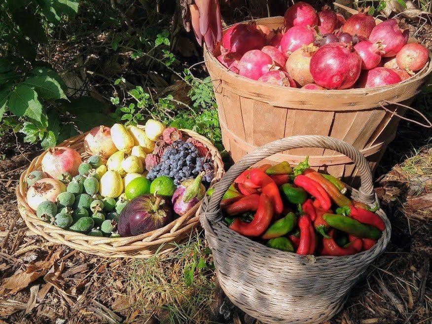 פירות טריים שנקטפו ביער המאכל בקידרון
